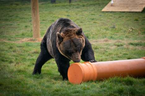 Brown Bear at Yorkshire Wildlife Park inspecting Polypipe Drainage Toys